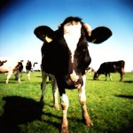 What could we learn from happy cattle?